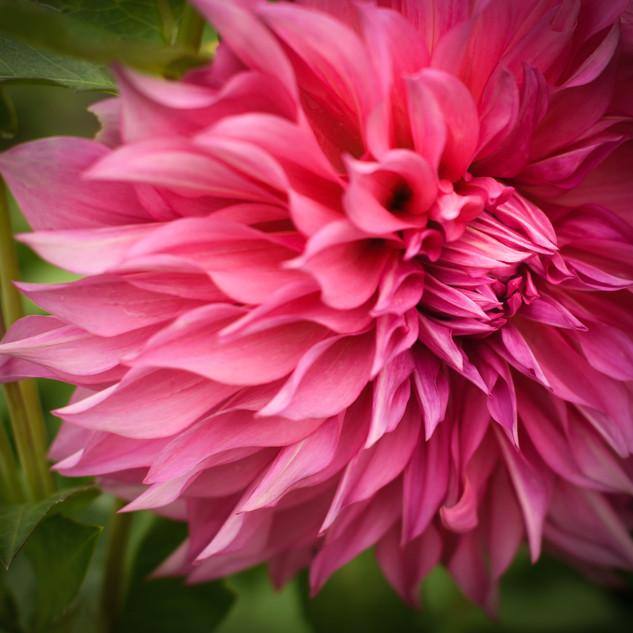 Pink Daliah