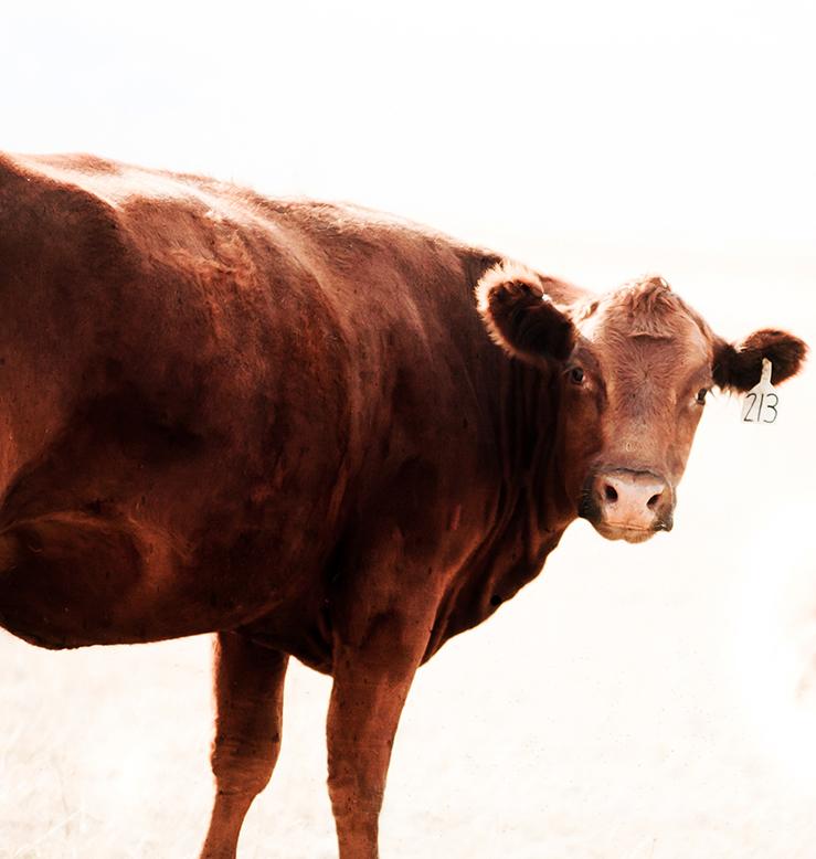 Cows-46