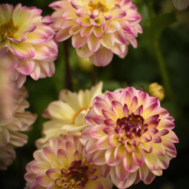 Yellow & Pink Daliahs