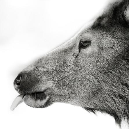 Cow Elk Tongue