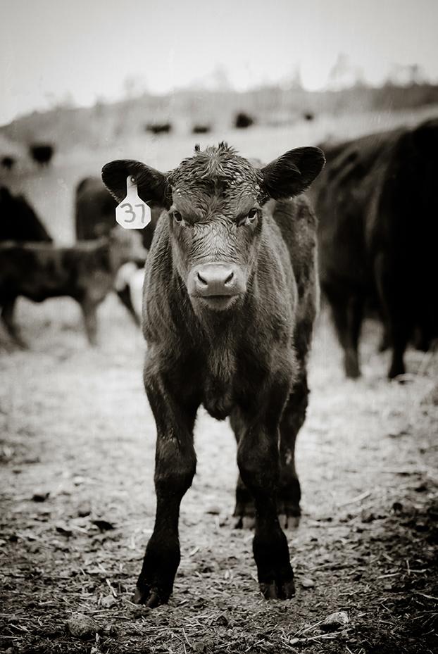 Calf Branding-31