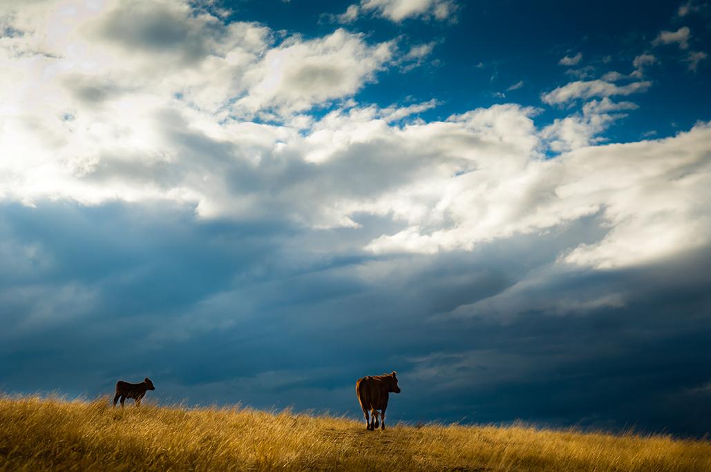 Cows-53