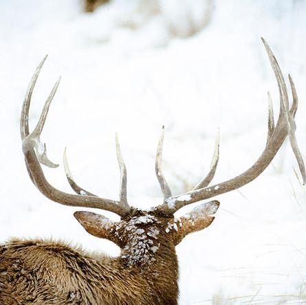 Elk Dropped Tine