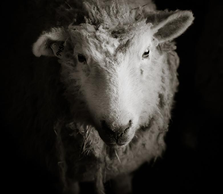 SheepShearing-154
