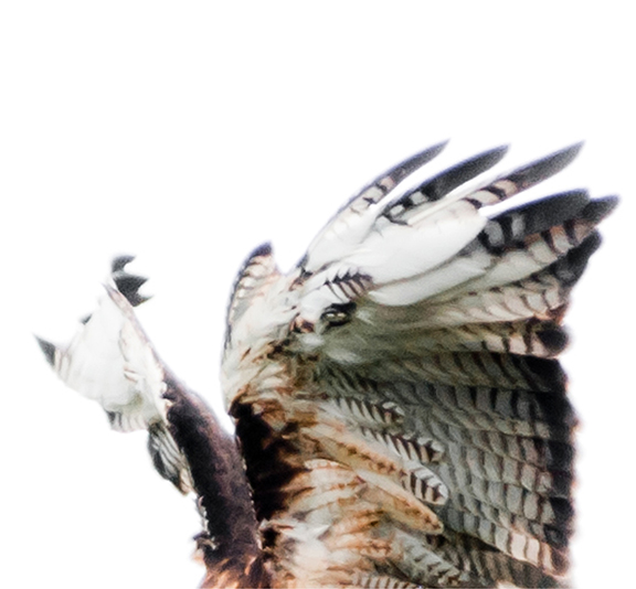 Hawk 103