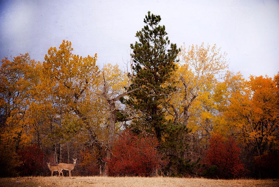 W.Rosebud Deer-98