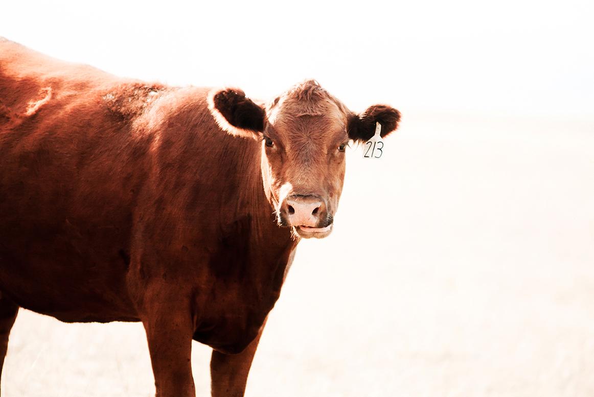 Cows-40