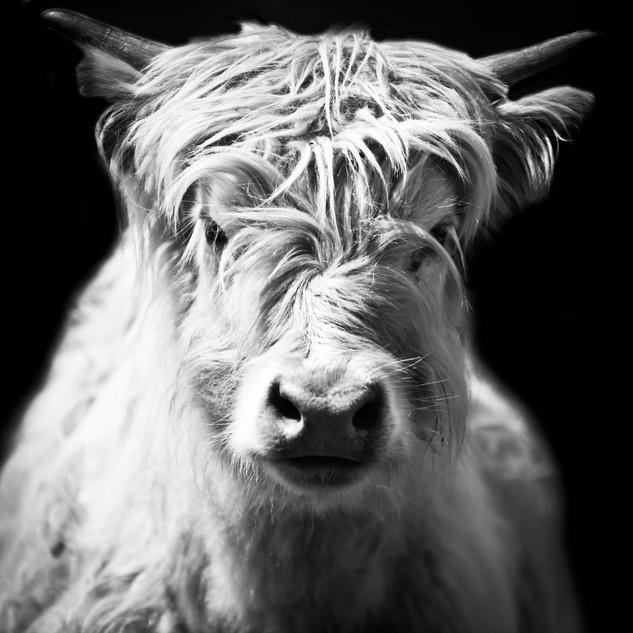 Furry White Cow