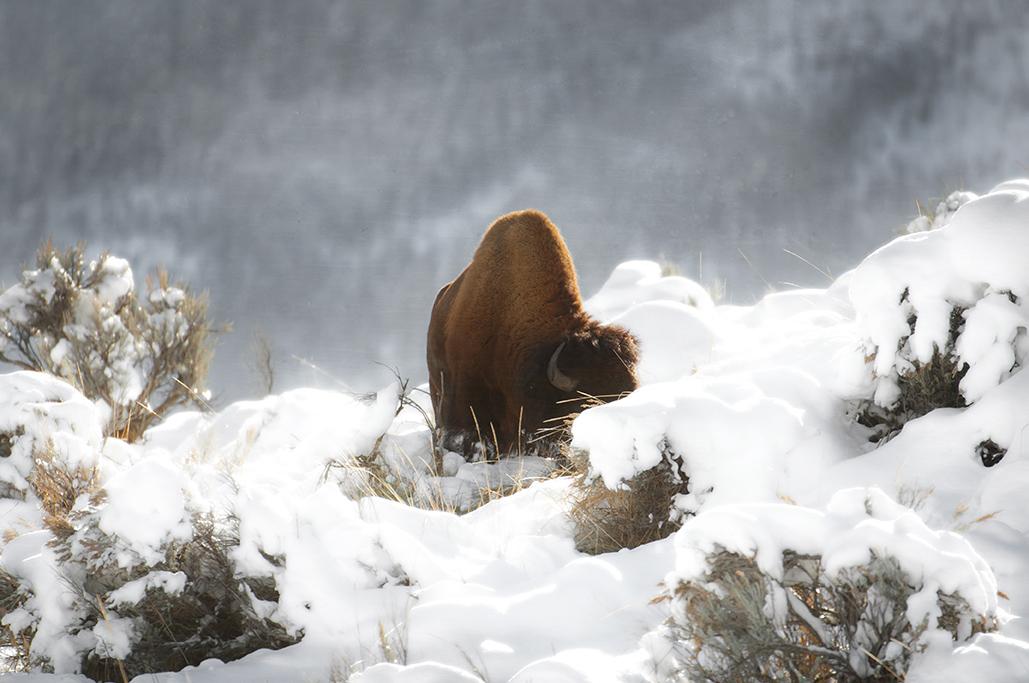Yellowstone-337