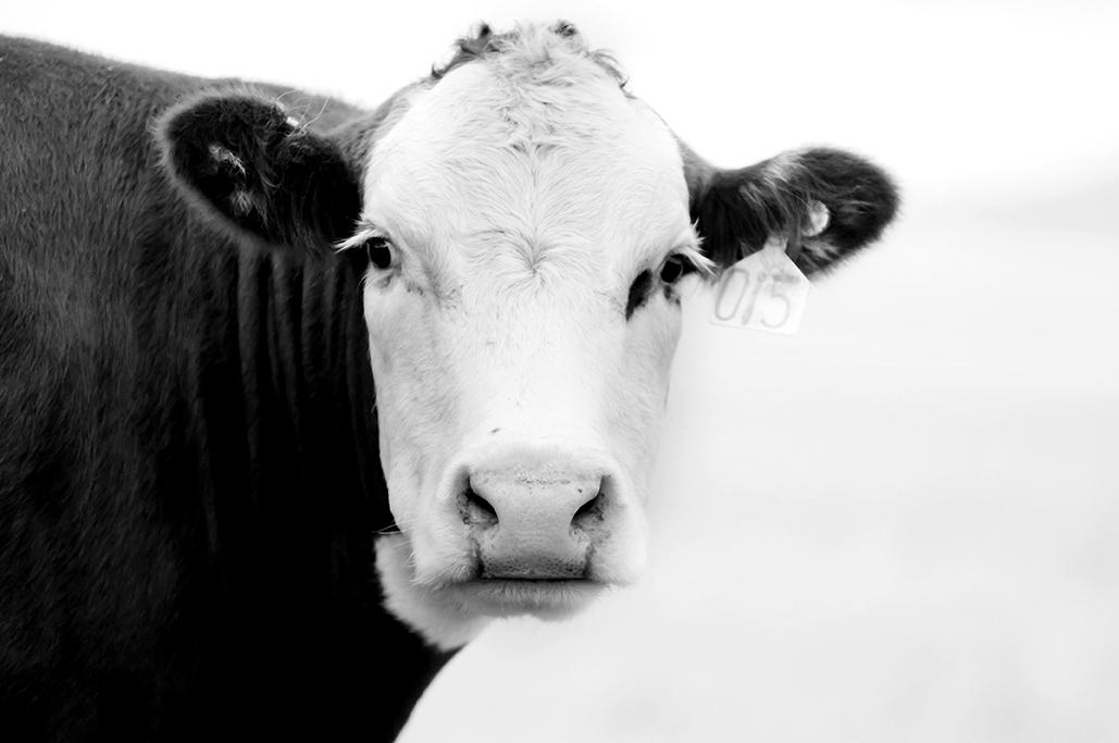 Cows-115