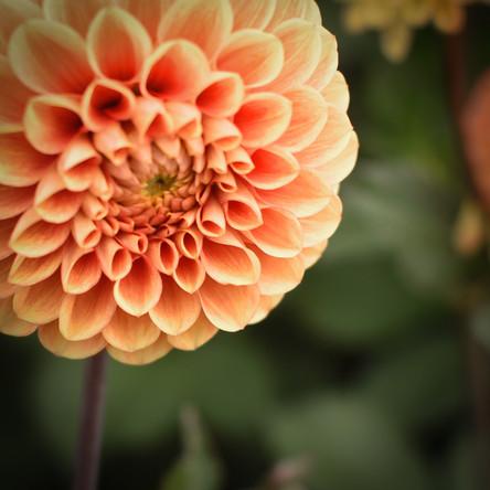 Orange Daliah