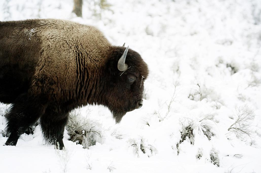 Yellowstone-516