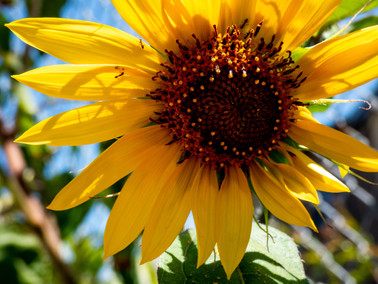 Sunflower_002.jpg