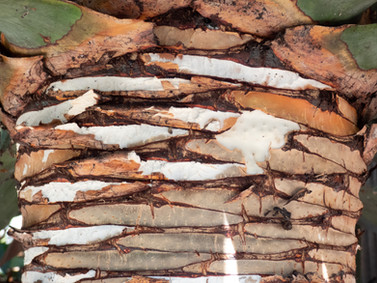 Palm Tree bark.jpg