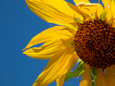 Sunflower 001.jpg