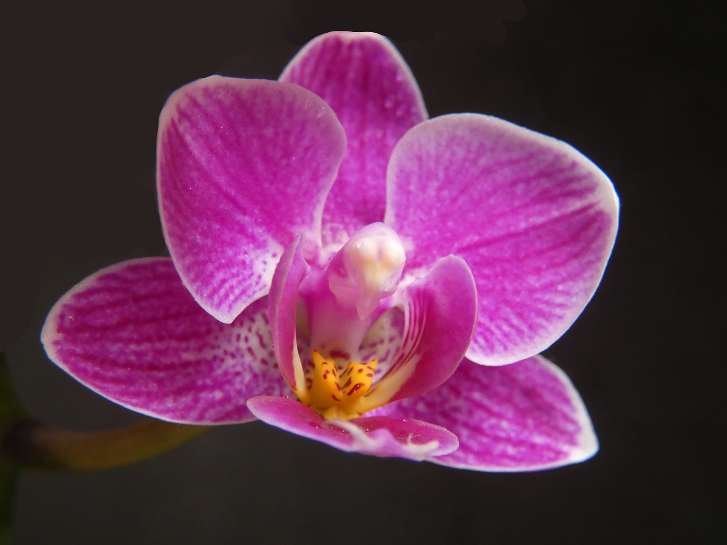 Orchid 1.png