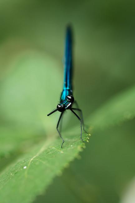 Libellule Caloptéryx.jpg