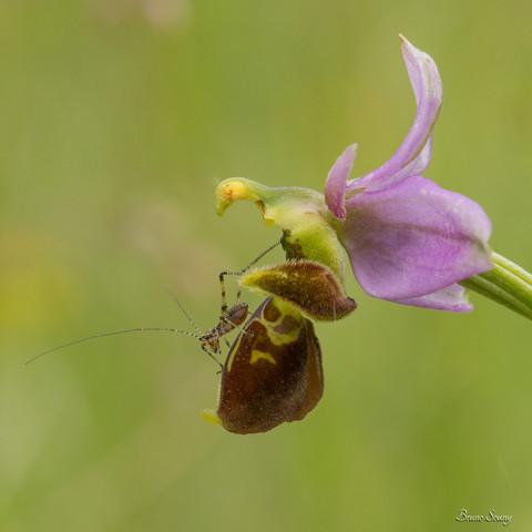 Larve sauterelle sur Ophrys bécasse