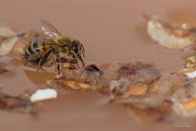 abeille à l'abreuvoir.