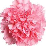 pink-carnation.jpg