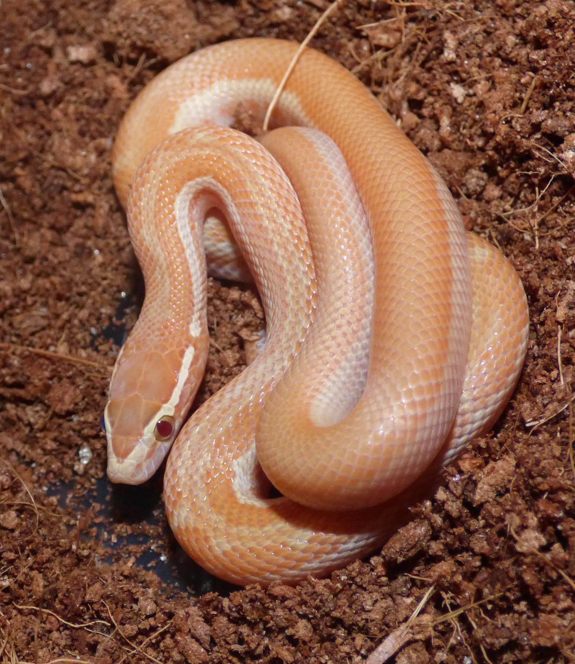 Boaedon capensis