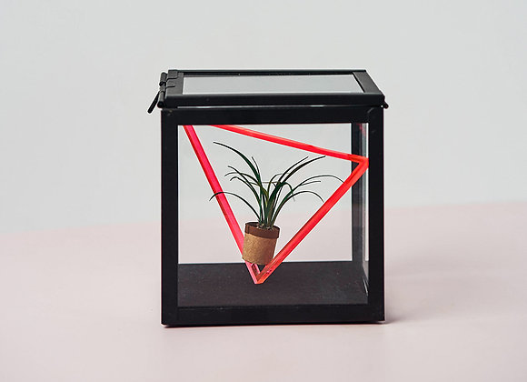 Spider Plant in Box