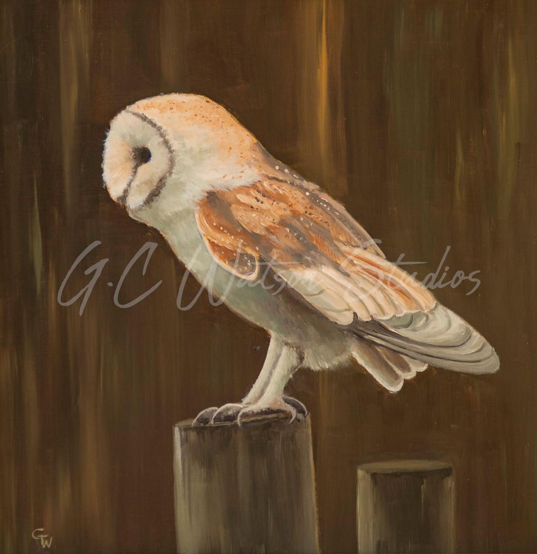 Barn Owl in Profile
