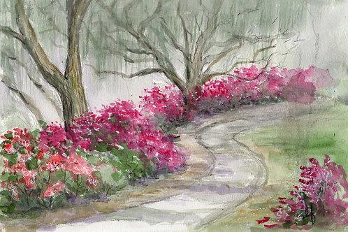 Azaleas along a path