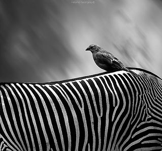 zebra and birds.jpg