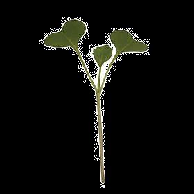 Kale Microgreen 30g