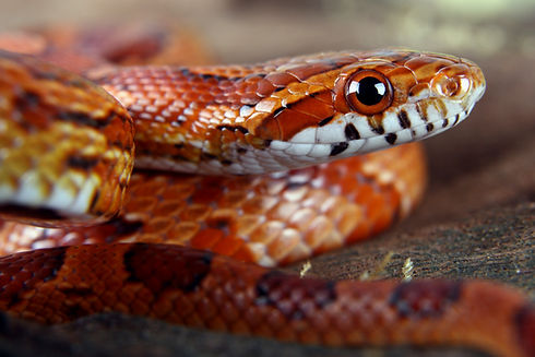 a picture of a beautiful corn snake.jpg