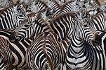 zebras1.jpg