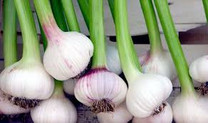 Garlic Begets Garlic