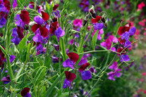 Sweet Peas Add Fragrance to Your Cutting Garden