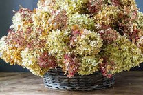 Get Ready to Dry Hydrangea Flowers