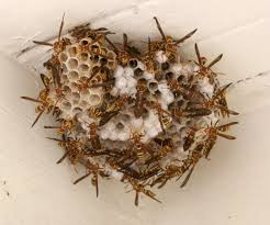 Paper Wasps are True Beneficials