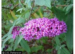 Butterfly Bush--Beautiful but Noxious