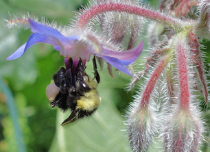 How to Attract Bumblebees