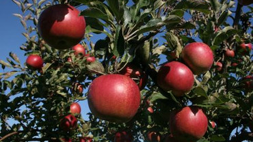 Improve your fruit harvest with a little tree care now