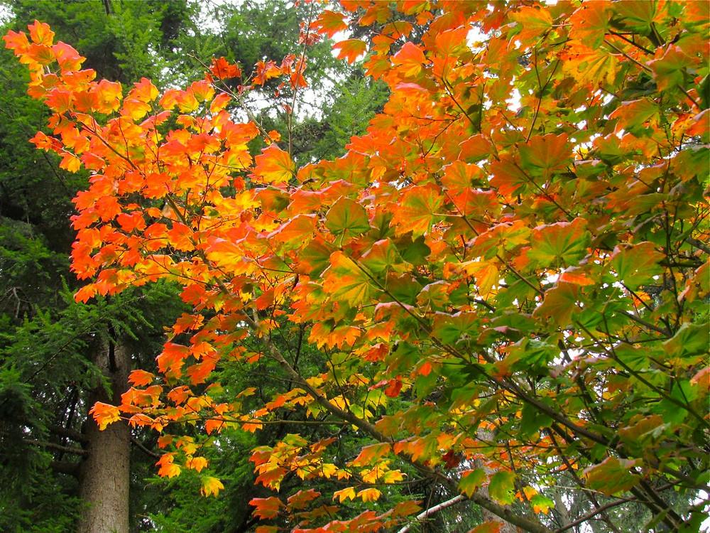 Vine maple tree, PNW native
