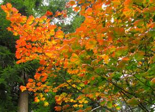 Vine Maple-A Wonderful Native Tree for Coastal Gardens