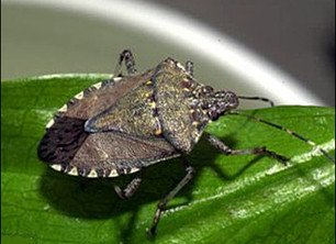 Be on the Lookout -- a new pest in town