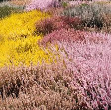 Color Up Your Winter Garden with Heather