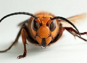 Murder Hornets Found in Washington State