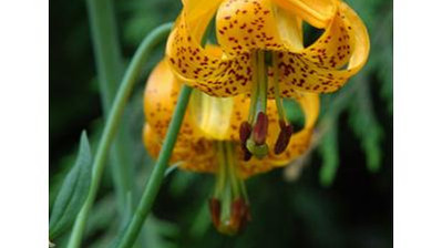 Add Tiger Lilies for Great Garden Color