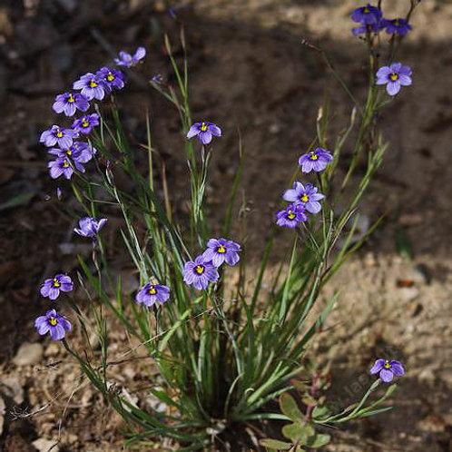Blue-eyed Grass (Sisyrinchium )