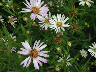 Hall's Aster