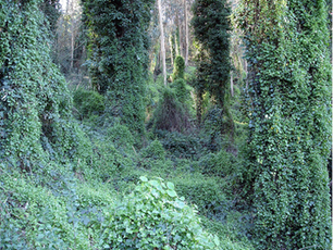 English Ivy Banned for Life
