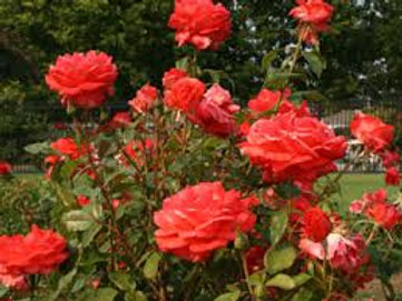 """Rose """"Red Flame"""""""