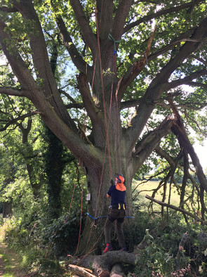 Safety Work on Big Oak